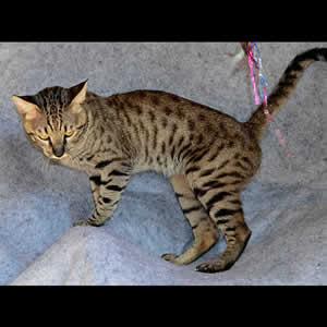 savannah cats Jovib