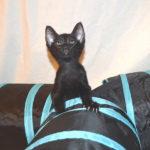 F7-Savannah-Kittens-marag1meld