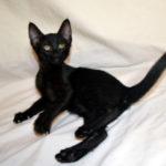 F7-Savannah-Kittens-marag1melf