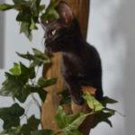 F7-Savannah-Kittens-marag1melh