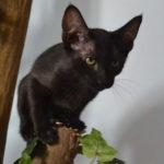 F7-Savannah-Kittens-marag1meli