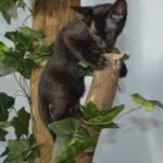 F7-Savannah-Kittens-marag1melj