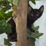 F7-Savannah-Kittens-marag1melk