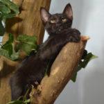 F7-Savannah-Kittens-marag1mell