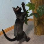 F7-Savannah-Kittens-marag1melm