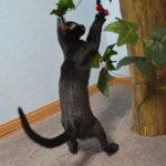 F7-Savannah-Kittens-marag1melp
