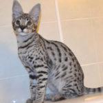 Savannah cat Queens A7Da