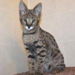 Savannah cat Queens A7Db