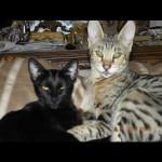adult kittens 1h