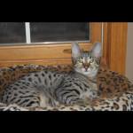 adult kittens 1i