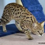 F1 Savannah Cat Queen BGb