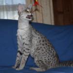 F1 savannah cat occ