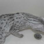 F1 savannah cat och