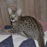 f2-savannah-kittens-nadig1gga