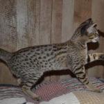 f2-savannah-kittens-nadig1ggb