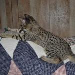 f2-savannah-kittens-nadig1ggc