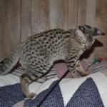 f2-savannah-kittens-nadig1gge