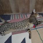 f2-savannah-kittens-nadig1ggf