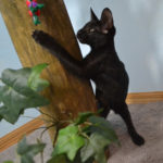 f6-savannah-kitten-vmka