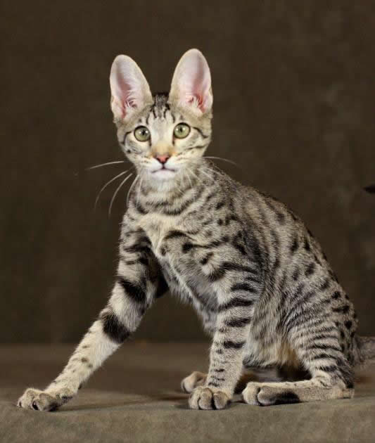 Savannah Cat Owners #1 Guide! | Kitten Cost, Breeders, Advice