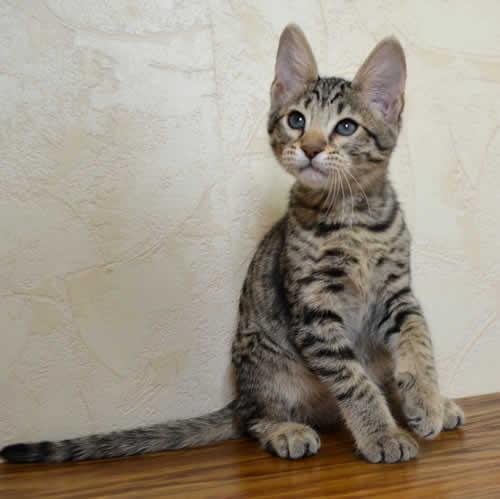 F6 Savannah Kittens Available by Amanukatz