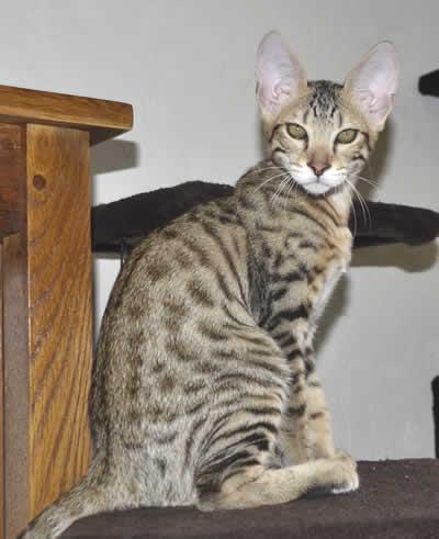 Buying cheap Savannah Kittens