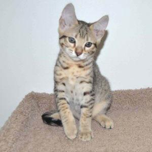 f7-savannah-kittens-g107-267lxc