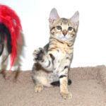 f7-savannah-kittens-g107-267lxh