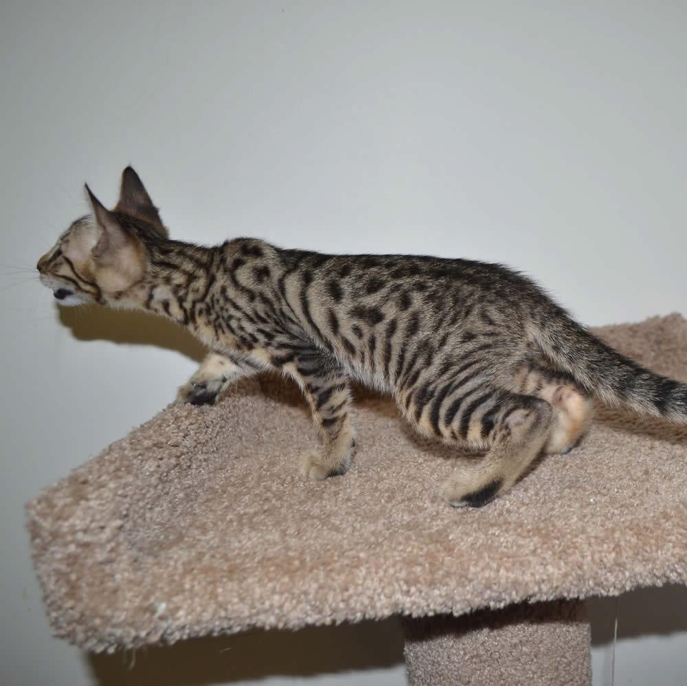 bengal cat rescue mn