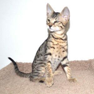 f7-savannah-kittens-g207-26kzg