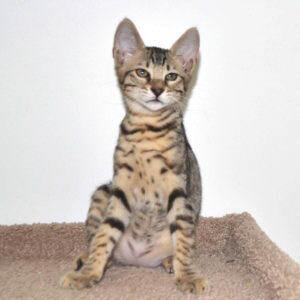 f7-savannah-kittens-g207-26kzh