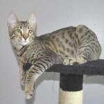 ff7-male-savannah-kitten-psa