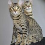 ff7-male-savannah-kitten-psc