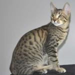 ff7-male-savannah-kitten-pse