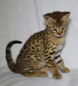 gallery savannah kittens