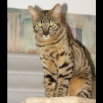 savannah cats ya1l