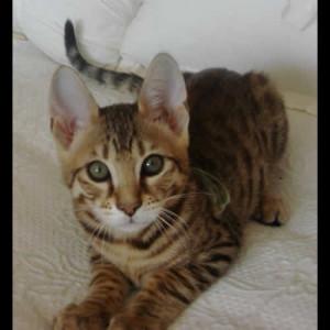 savannah cat studs c1b