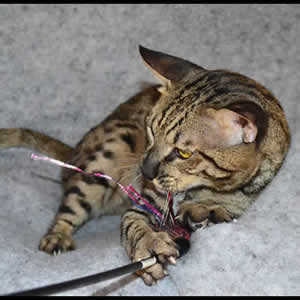 savannah cats j1