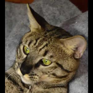 savannah cats jovi1c