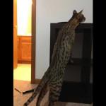 savannah cats ya1b