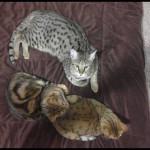 savannah cats ya1d