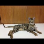 savannah cats ya1f