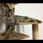 savannah cats ya1g