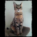 savannah cats ya1j