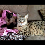 savannah cats ya2a