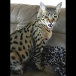 savannah cats ya2b