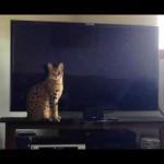 savannah cats ya2e