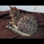 savannah cats ya2l