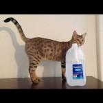 savannah cats ya2q