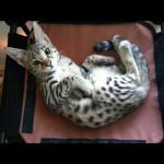 savannah cats ya1